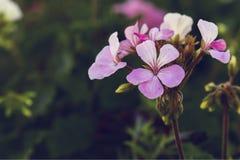 De mooie bloem van de boeket roze geranium royalty-vrije stock foto's