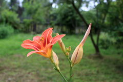 De mooie bloem van de daglelie Royalty-vrije Stock Foto
