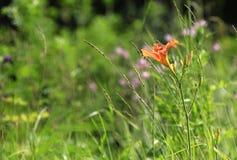 De mooie bloem van de daglelie Royalty-vrije Stock Foto's