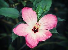 De mooie Bloem van de Hibiscus Stock Foto