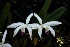 De mooie bloem van de paarorchidee stock foto's