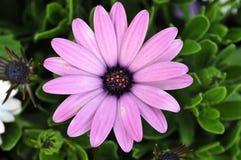 De mooie bloem van de zon, Royalty-vrije Stock Foto's