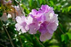 De mooie bloem van het wijnstokknoflook Stock Afbeeldingen