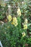 De mooie bloem van Leeuwebekmajus in tuin royalty-vrije stock foto's