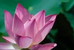 De mooie Bloem van Lotus Stock Afbeeldingen