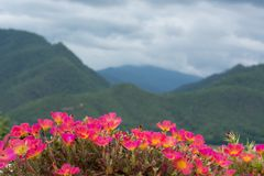 De mooie bloem van portulacaoleracea Stock Foto's