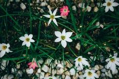 de mooie bloem van de regenlelie wooden hoofd met een lang slank blad royalty-vrije stock foto's