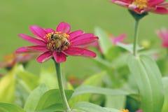 De mooie bloem van Zinnia met bij in regenachtig seizoen Stock Fotografie