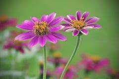 De mooie bloem van Zinnia in regenachtig seizoen Stock Afbeelding