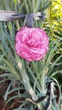 De Mooie Bloemen in Cyprus Stock Afbeeldingen