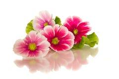 De bloemen van de begonia Stock Foto's