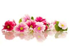 De bloemen van de begonia Stock Afbeeldingen