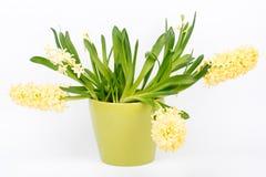 De mooie bloemen van de de lentehyacint in pot, op witte achtergrond Royalty-vrije Stock Fotografie