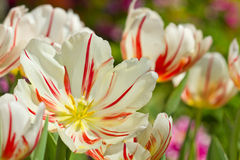 De mooie bloemen van de de lentetulp in tuin Stock Fotografie