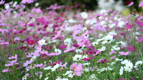 De mooie bloemen van de Kosmos stock footage