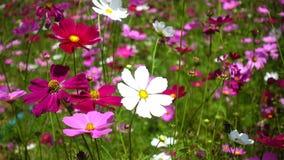 De mooie bloemen van de Kosmos stock video