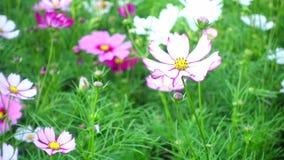 De mooie bloemen van de Kosmos stock videobeelden