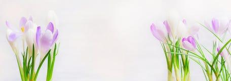De mooie bloemen van de lentekrokussen op lichte achtergrond, banner royalty-vrije stock afbeeldingen