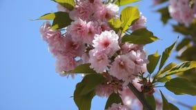 De mooie bloemen van de sakuralente De achtergrond van de de lentebloesem stock video