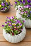 De mooie bloemen van de viooltjezomer in bloempotten in tuin Royalty-vrije Stock Afbeeldingen