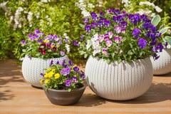 De mooie bloemen van de viooltjezomer in bloempotten in tuin Royalty-vrije Stock Fotografie