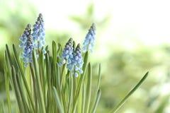 De mooie bloemen van de lentemuscari op vage achtergrond stock fotografie