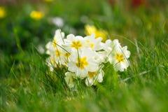 De mooie bloemen van de lentesleutelbloemen primulaprimula of Eeuwigdurende sleutelbloem met groene bladeren in de tuin Het conce stock afbeeldingen