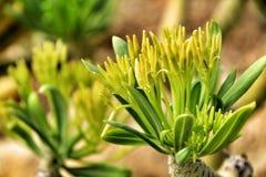 De mooie bloemen van Senecio Anteuphorbium in de tuin royalty-vrije stock foto's