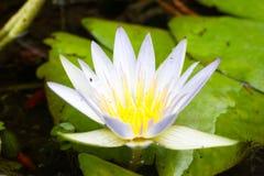 De mooie bloemen Witte alba Nymphaea, riepen algemeen waterlelie of waterlelie onder groene bladeren en blauw water Stock Afbeelding