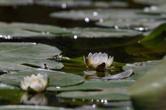De mooie bloemen Witte alba Nymphaea, riepen algemeen waterlelie of waterlelie onder groene bladeren en blauw water Stock Foto's