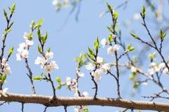De mooie bloemenachtergrond van de de lentetijd De bloeiende bloeiende tak van de appelboom Verse groene bladeren en witte bloeme royalty-vrije stock afbeelding