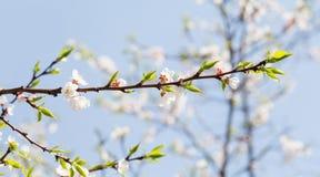 De mooie bloemenachtergrond van de de lentetijd De bloeiende bloeiende tak van de appelboom Verse groene bladeren en witte bloeme royalty-vrije stock foto
