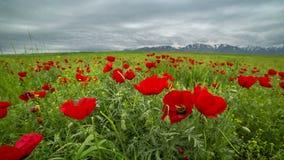 De mooie bloesem rode papavers bloeien landschap, winderige en bewolkte weer in Kazachstan - 4K Timelapse stock videobeelden