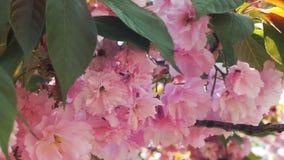 De mooie Bloesem van de bloemkers of sakura, van Sakura Flower of Cherry Blossom With Beautiful Nature-Achtergrond, kers stock videobeelden