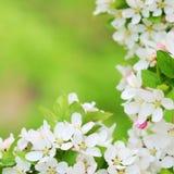 De mooie bloesems van de appelboom in de vroege lente royalty-vrije stock afbeeldingen