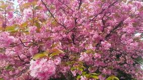 De mooie bloesems van de de lentekers, Londen, Engeland stock footage