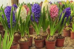 De mooie bollen van de hyacintbloem in pot Royalty-vrije Stock Fotografie