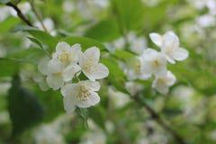 De mooie boom van de de zomer bloeiende appel royalty-vrije stock afbeeldingen