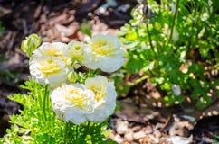 De mooie bos van mooie witte gele roomranunculus of Boterbloem bloeit in een lentetijd bij een botanische tuin stock fotografie