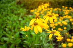 De mooie bossen van gele bloemblaadjes die van Sunchoke planten of kennen als Artisjok of Aardeappel en sunroot bloeien royalty-vrije stock afbeelding
