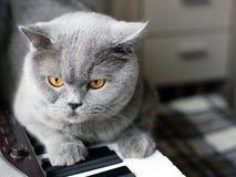De mooie Britse grijze kat zit op de sleutels van een piano, close-upportret, grote gele ogen stock fotografie
