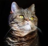 De mooie Britse kat met gele trotse ogen kijkt op een zwarte achtergrond Stock Afbeelding