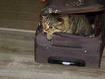 De mooie Britse kat probeert om uit de koffer te krijgen stock foto's