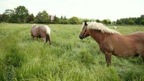 De mooie bruine paarden weiden op gazon met omheining, eet de merrie groen gras stock video