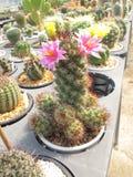 De mooie Cactus van Mammillaria Mazatlanensis stock afbeeldingen