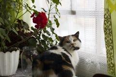 De mooie calicokat zit dichtbij rode geraniums op venster Royalty-vrije Stock Afbeeldingen