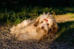 De mooie chocolade havanese hond rust op een bosweg Stock Foto