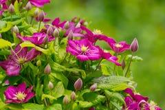 De mooie clematis bloeit achtergrond Stock Foto's
