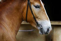 De mooie close-up van het paardhoofd royalty-vrije stock afbeelding