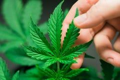 De mooie concepten die van het cannabisblad en marihuana en onkruid kweken gebruiken Stock Foto's